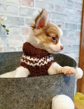 Cudowny długowłosy chłopiec Chihuahua JUŻ DO ODBIORU
