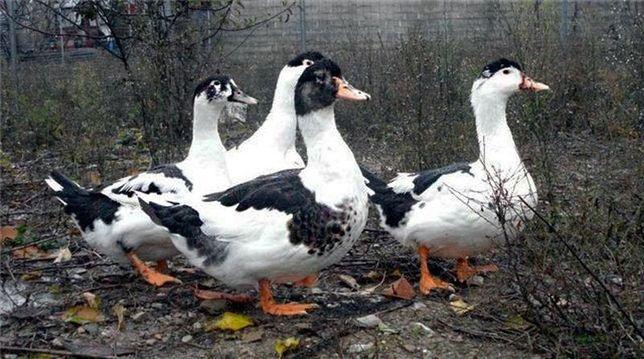 Продам домашні качки, м'ясної породи, муларди