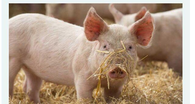 Домашня Свиня