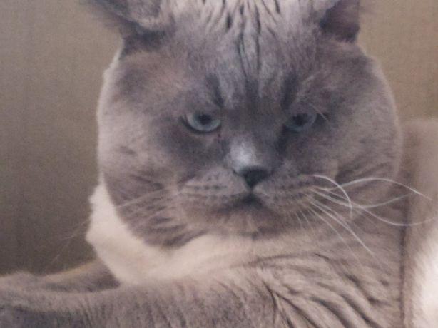Вязка,шикарный кот предлогает свои услуги