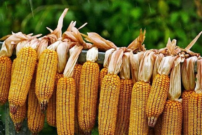 Продам тонну кукурузы домашняя.