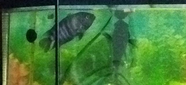 Аквариумные рыбки Цихлиды