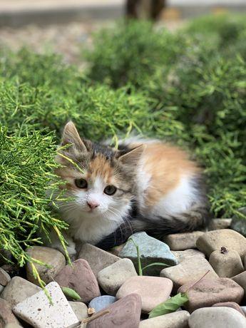 котенок девочка кошечка трехмастная техцветная рыжая белая черная