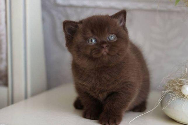 Шикарный Британский котик