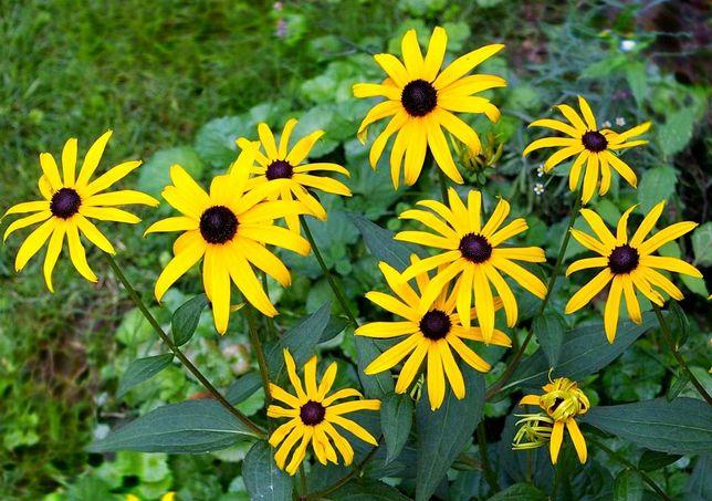 Rudbekia błyskotliwa -bylina niewymagająca i długo kwitnąca