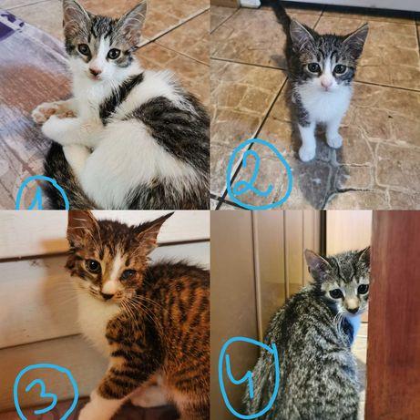 3 miesięczne kotki