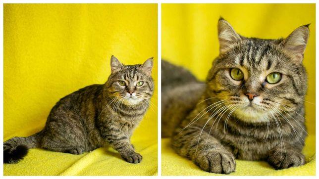 Тигровая полосатая кошка Паляничка, стерилизована, 3 г