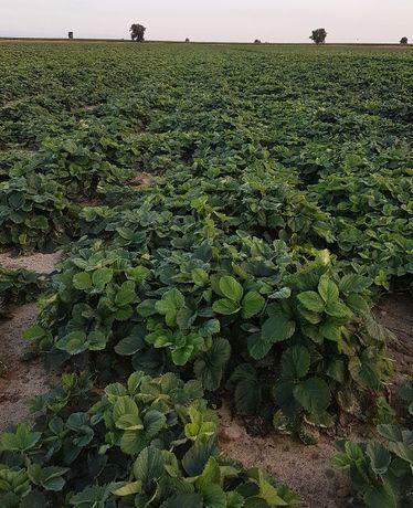 Sadzonki truskawek -Senga Sengana - szkółka kwalifikowana