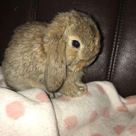Міні кролик, NHD , кролик баранчик, кролик карликовий