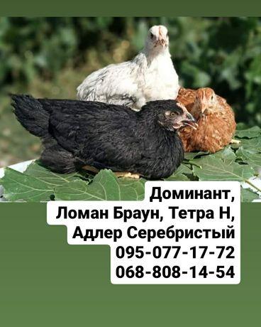 Куры Доминант, Ломан Браун, Легорн. Цыплята Бройлер подрост и суточный
