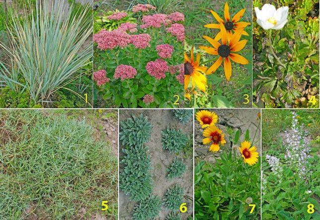 Многолетние цветы ( шалфей, вероника, ехиноцея, и тд),