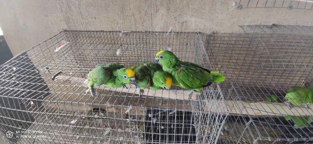 papagaios amazonas ochrocephala bebes para acabar de criar a mão anil