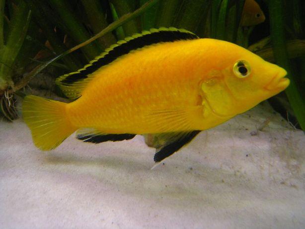 Pyszczak Yellow Labidochromis caeruleus