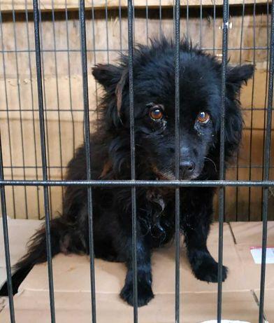 Чорний кудлатий пес