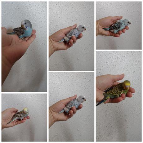 Papugi faliste oswojone jest ich pięć cena za sztukę
