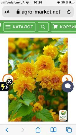 Пленифлора Керрия японская кустарник многолетний.