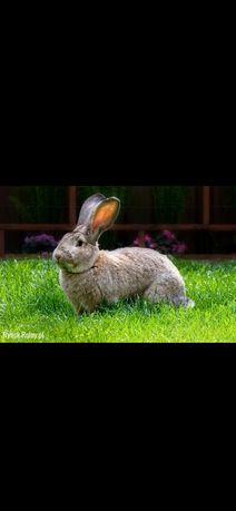 Tuszka królika 20 zł za kg