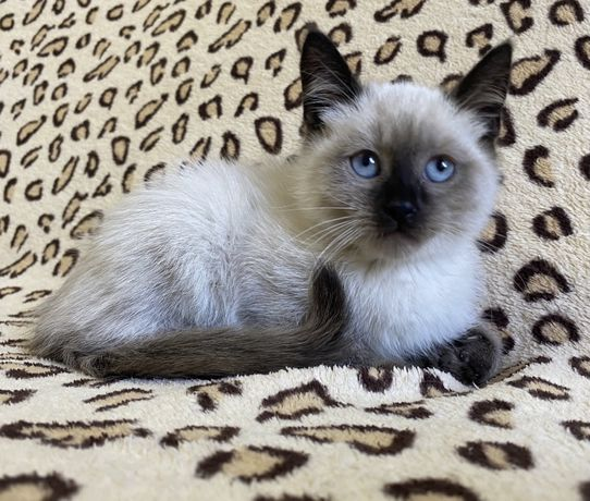 Котик Тайский