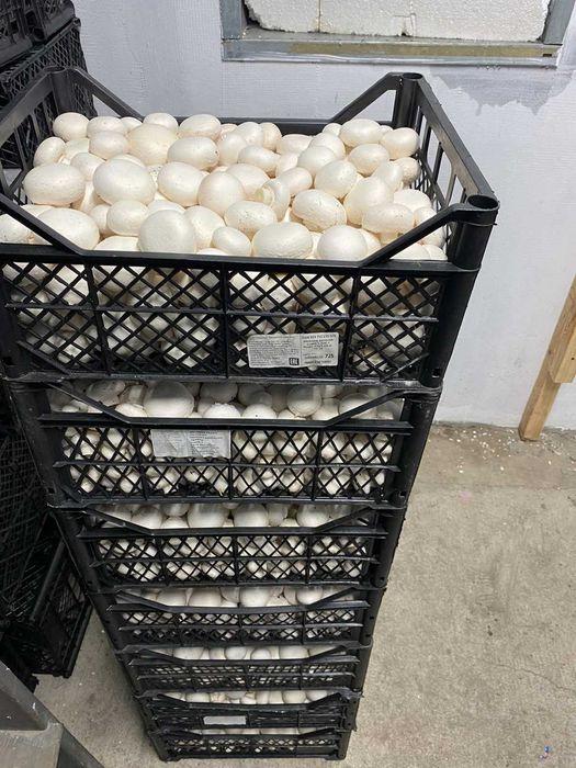 Продаж грибів (шампіньйони) Белая Церковь - изображение 1