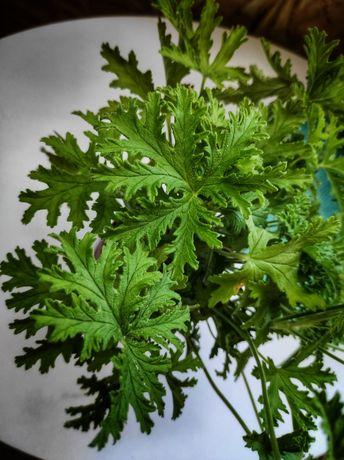 Geranium Anginka anginowiec pelargonia pachnąca