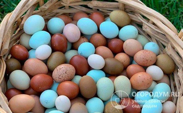 Инкубационное яйцо Вся Украина