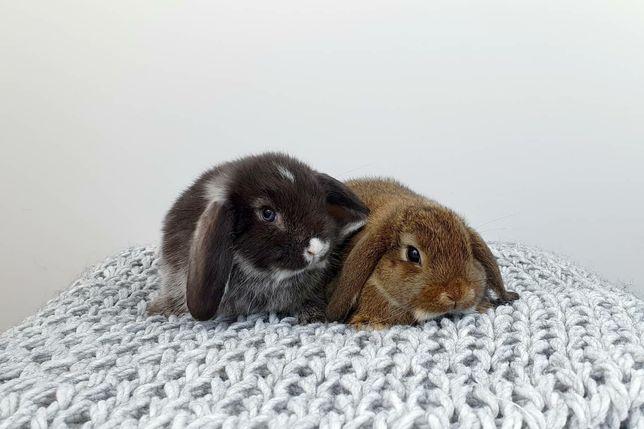 Króliczki Mini lopki króliki Mini lop Małe Zarejestrowana hodowla