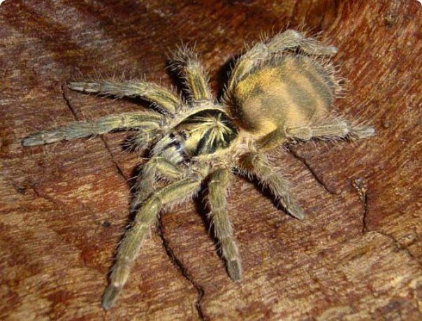 паук Holothele incei L 7 самка Харьков - изображение 1