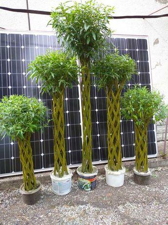Вазон живе плетене дерево Зелена Корона