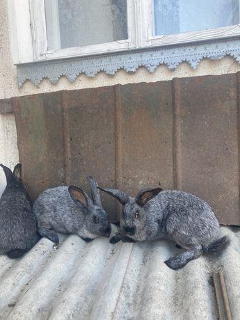 Полтавське срібло Самкі кролички.