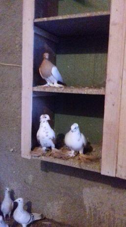 Sprzedam Gołębie