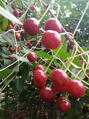 Wiśnie świeżo rwane
