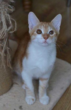 котичок з рудо-білою шубкою  з гарними манерами 5м
