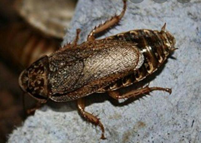 Мраморный таракан. Живой корм. Крупный и средний размер. 1000шт.