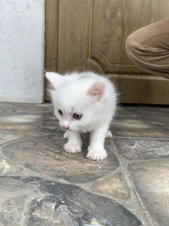 Ангорські котята