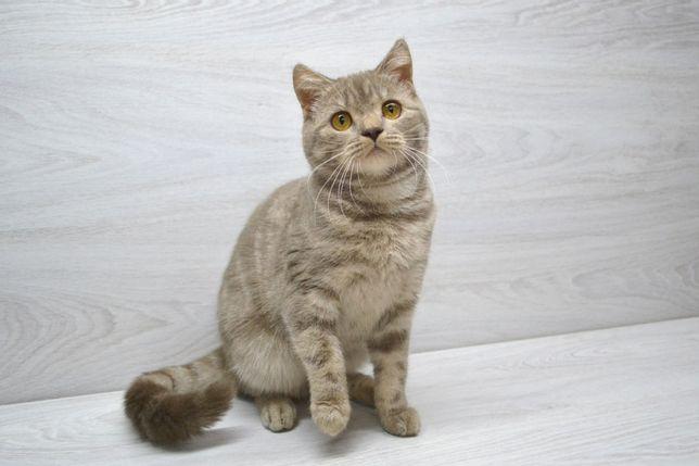 Кошечка шотландская в лилово-мраморном окрасе. Котята