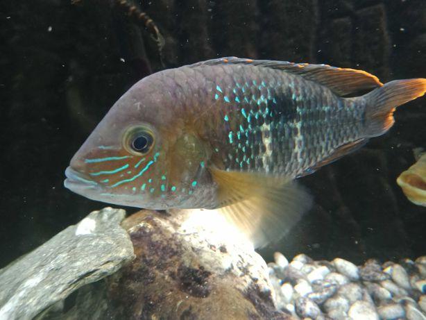 Rybka akwariowa, Akara pomarańczowopłetwa