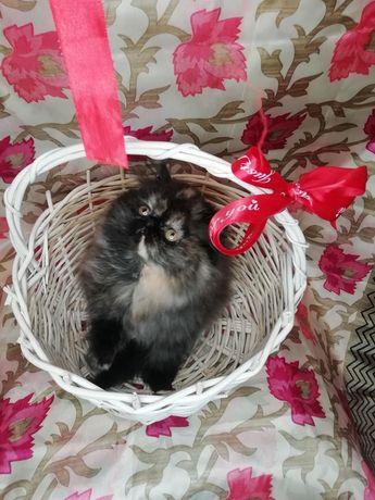 Супер персидская кошечка
