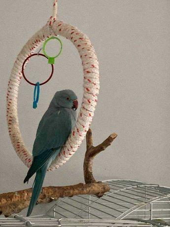 sprzedam papugę aleksandretta