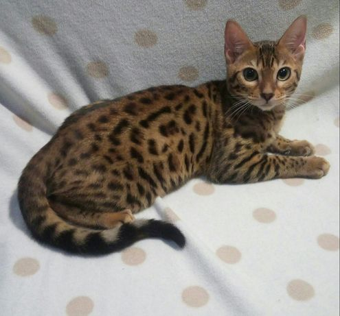 Леопардовая девочка Бенгал.