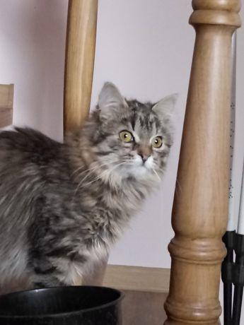Отдам пушистого котенка лесного окраса ,девочка ,7 месяцев ,стерилизов