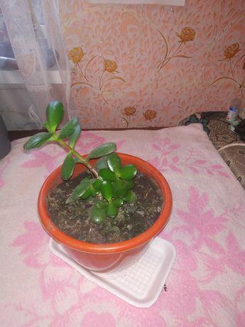 Денежное дерево молодое