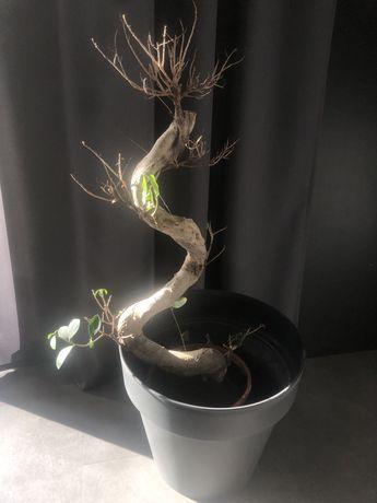 Drzewko Bonsai Duże Okazja