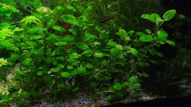 Rośliny akwariowe Lobelia cardinalis mini