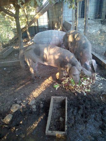 Vendo porcas prenhas