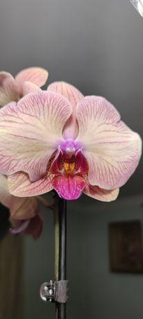 Орхидея фаленопсис голден леопард сортова