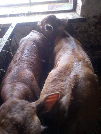 Byczek i cieliczka rasa Lm