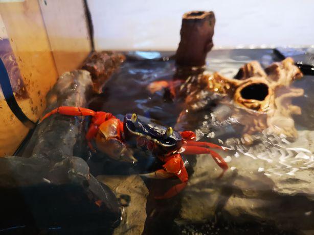 Krab tęczowy hodowlane Centrum Skorupiaków Ciołka 35