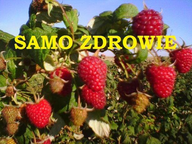 """SADZONKI malin """"malinowe lato"""" owoce dla całej rodzinny WYSYŁKA"""