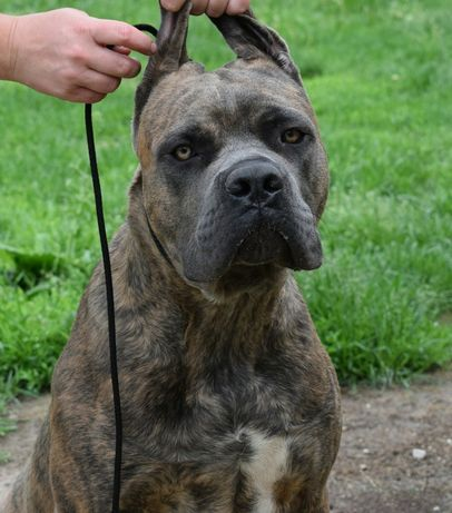 CANE CORSO - hodowla Some Place Else FCI