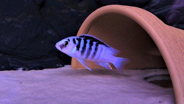 Labidochromis Chisumulae Chisumulu